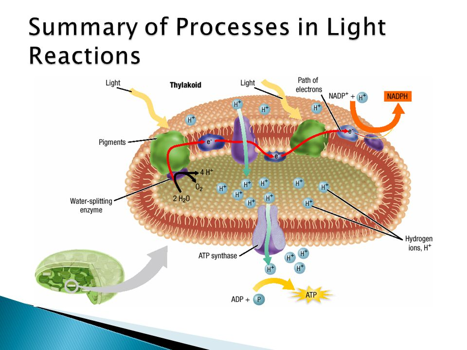 Summary of Processes in Light Reactions