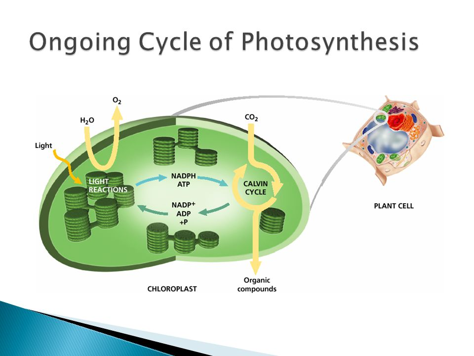 Ongoing Cycle of Photosynthesis
