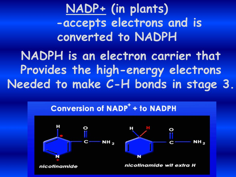 -accepts electrons and is converted to NADPH