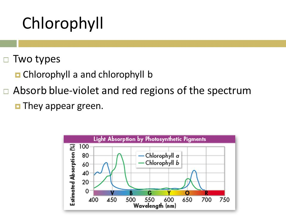 Chlorophyll Two types. Chlorophyll a and chlorophyll b. Absorb blue-violet and red regions of the spectrum.