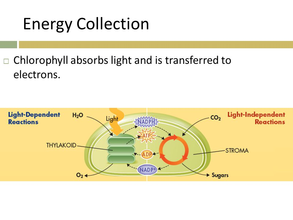 Energy Collection Chlorophyll absorbs light and is transferred to electrons.