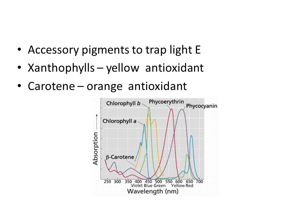 Accessory pigments to trap light E