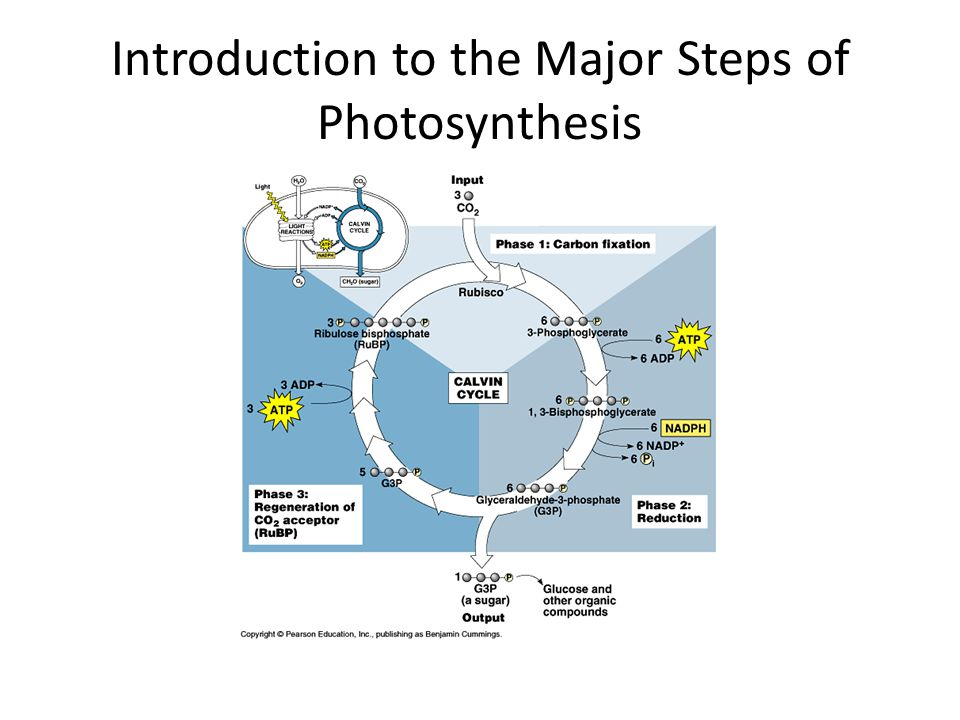 Introduction to the Major Steps of Photosynthesis