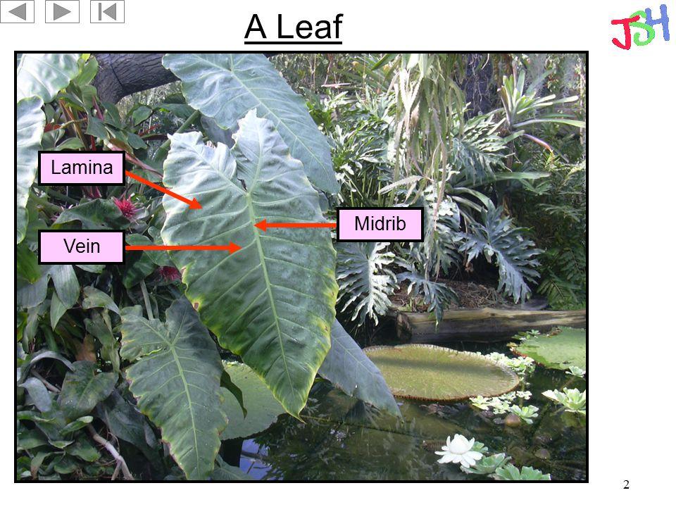 A Leaf Lamina Midrib Vein