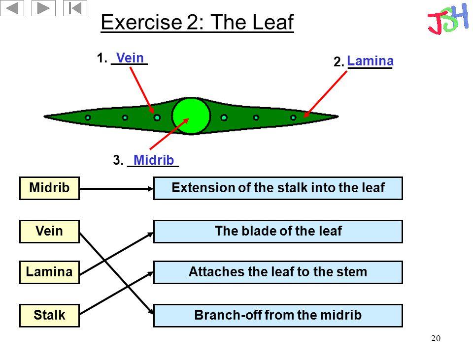 Exercise 2: The Leaf 1. _____ Vein 2. ______ Lamina 3. _______ Midrib