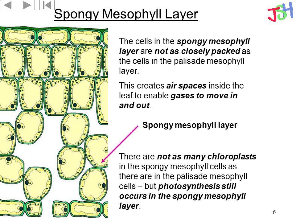 Spongy Mesophyll Layer