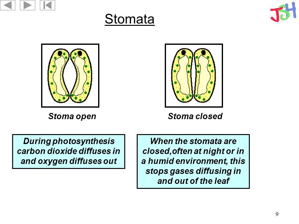 Stomata Stoma open Stoma closed