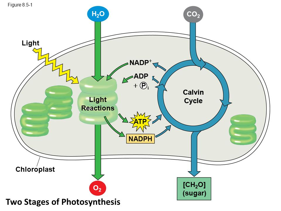 Two Stages of Photosynthesis