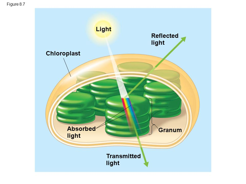 Light Reflected light Chloroplast Absorbed Granum light Transmitted