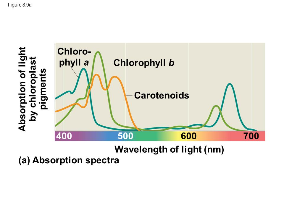 determining the absorption spectrum of leaf pigments Photosynthesis and other functions of leaf pigments absorption of light in the visible spectrum by plant pigments produces a unique spectral reflectance signature.