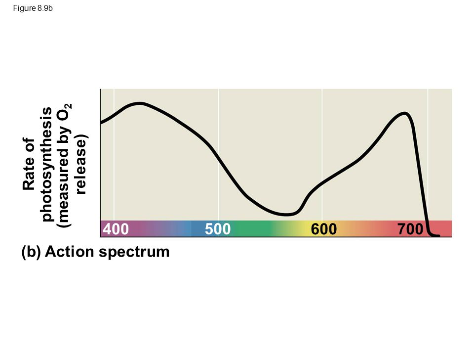 (measured by O2 photosynthesis Rate of release)