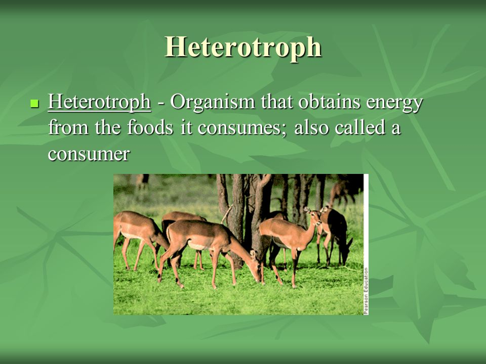 Heterotroph Heterotroph - Organism that obtains energy from the foods it consumes; also called a consumer.
