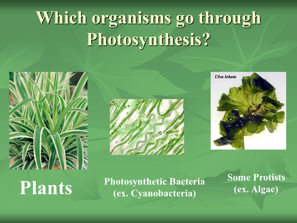 Which organisms go through Photosynthesis