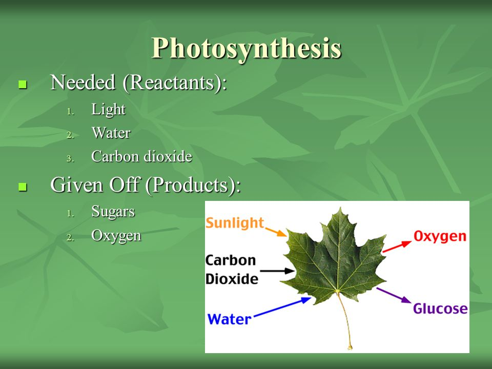 Photosynthesis Needed (Reactants): Given Off (Products): Light Water