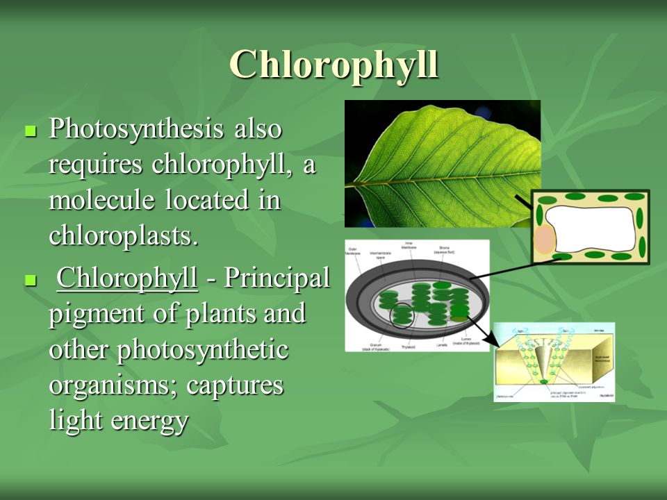 Chlorophyll Photosynthesis also requires chlorophyll, a molecule located in chloroplasts.