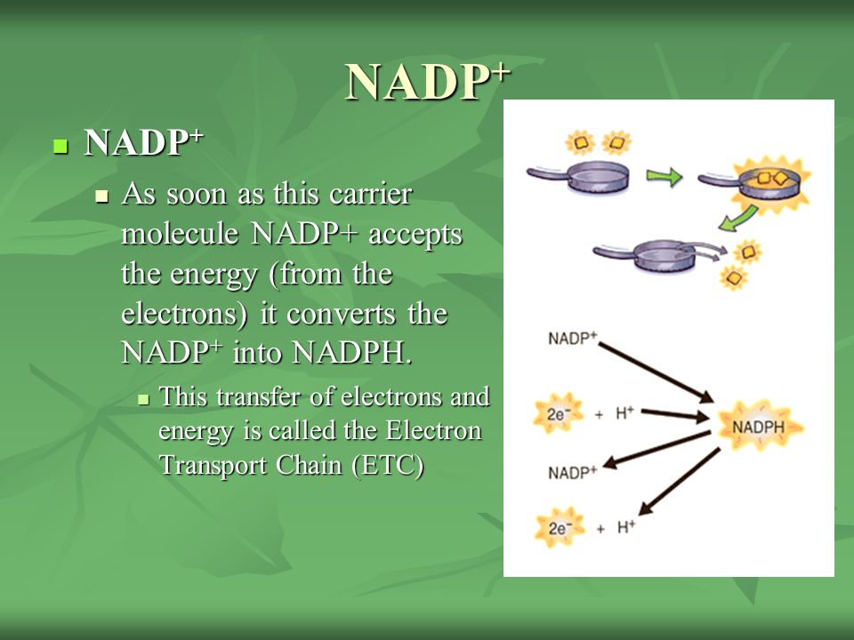 NADP+ NADP+ As soon as this carrier molecule NADP+ accepts the energy (from the electrons) it converts the NADP+ into NADPH.