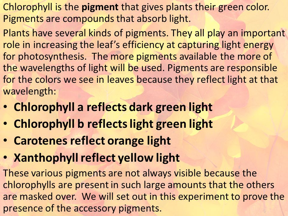 Chlorophyll a reflects dark green light