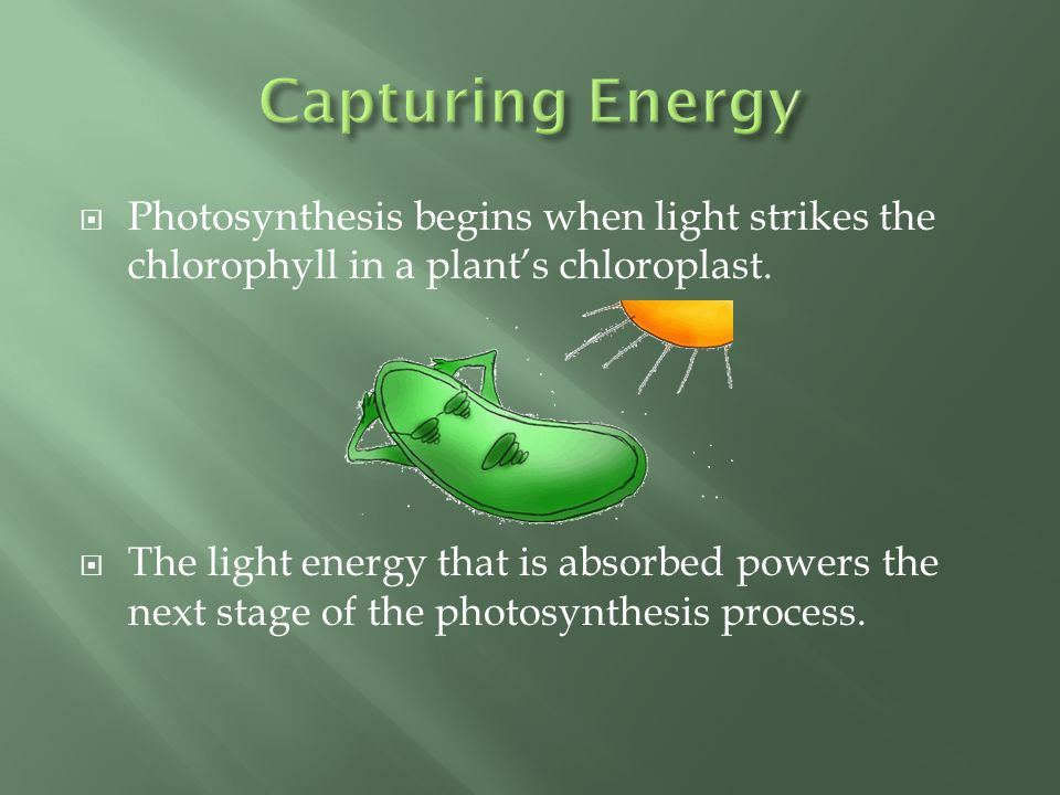 Capturing Energy Photosynthesis begins when light strikes the chlorophyll in a plant's chloroplast.