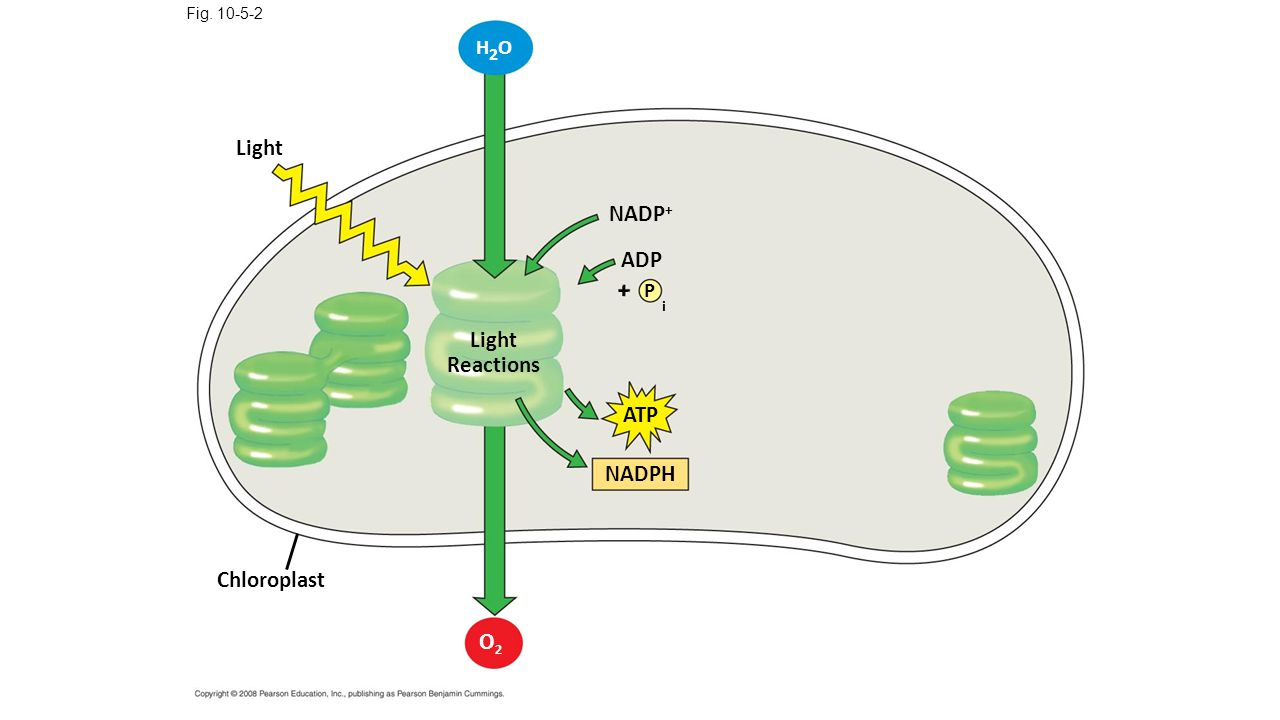 i Light NADP+ ADP Light Reactions ATP NADPH Chloroplast O2 H2O + P