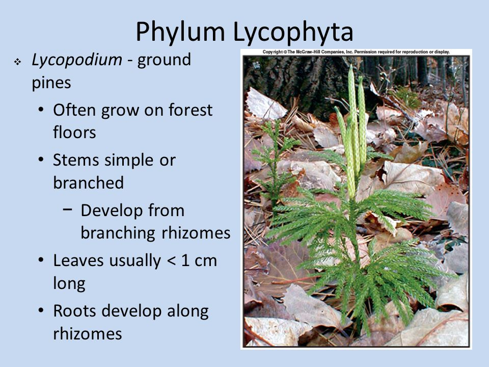 Phylum Lycophyta Lycopodium - ground pines Often grow on forest floors