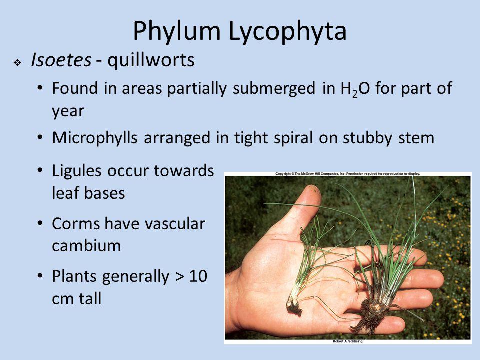Phylum Lycophyta Isoetes - quillworts