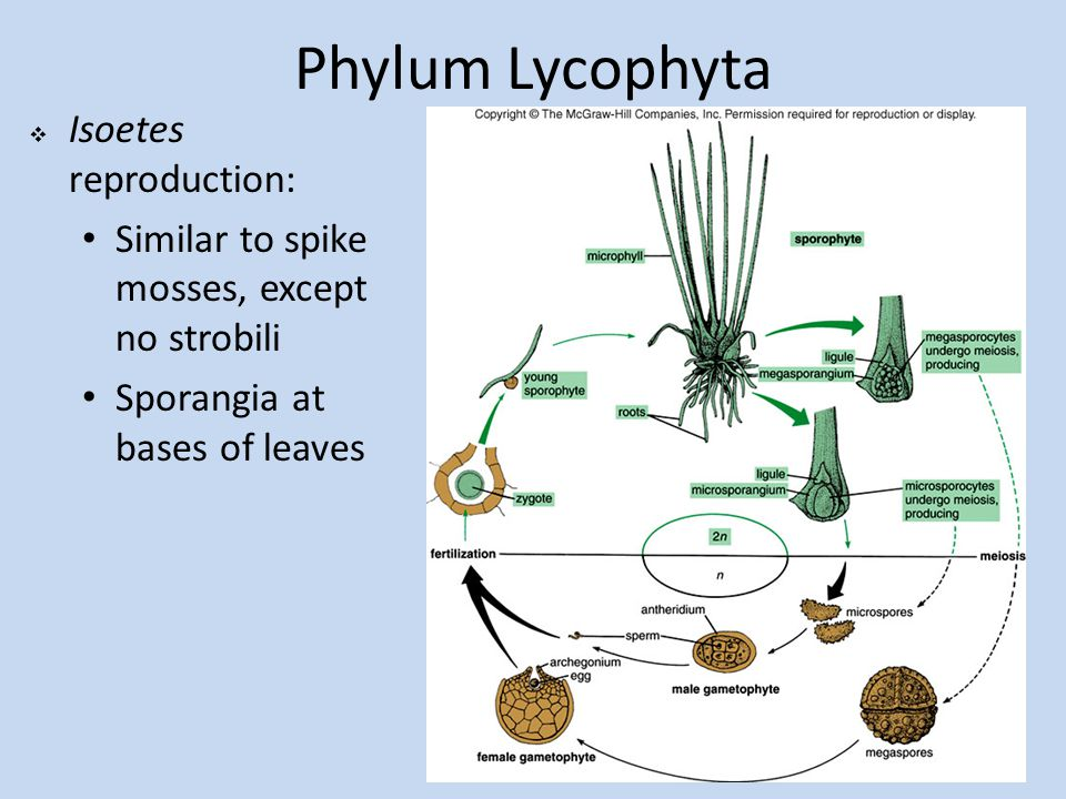 Phylum Lycophyta Isoetes reproduction: