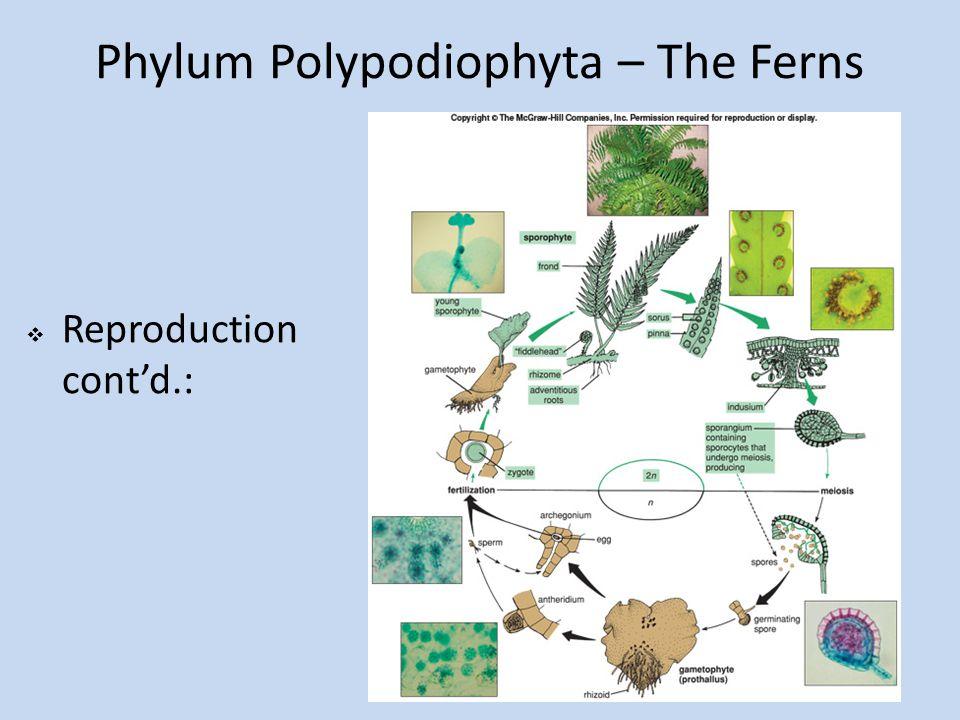 Phylum Polypodiophyta – The Ferns