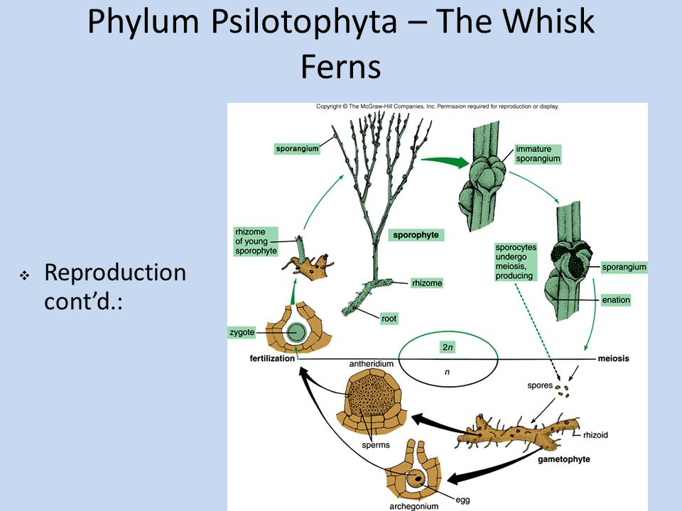 Phylum Psilotophyta – The Whisk Ferns