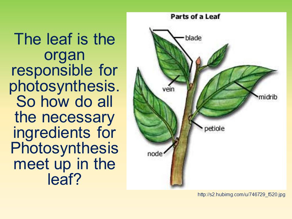 The leaf is the organ responsible for photosynthesis