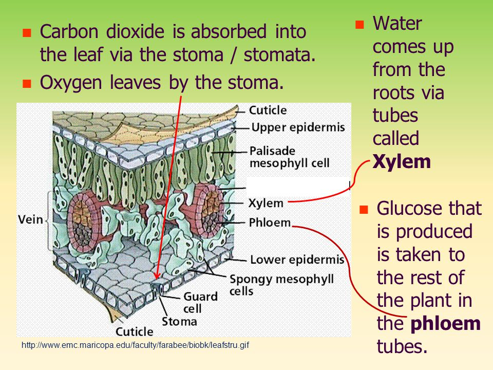 Water comes up from the roots via tubes called Xylem