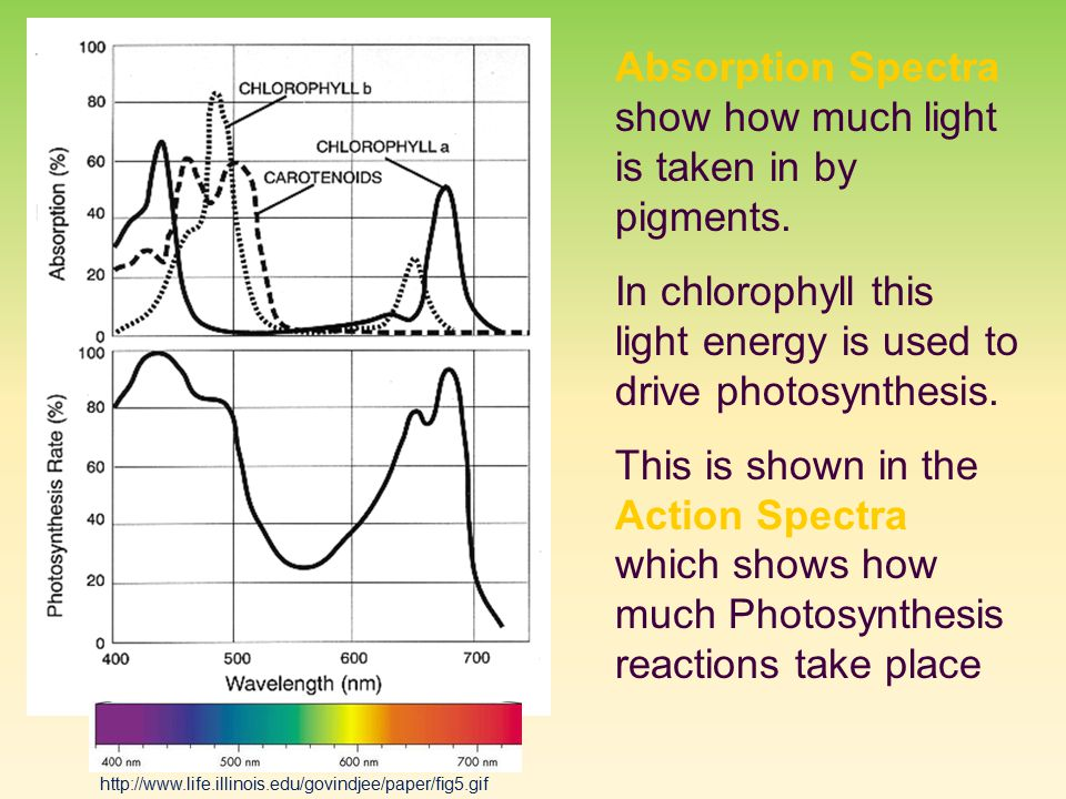 Absorption Spectra show how much light is taken in by pigments.
