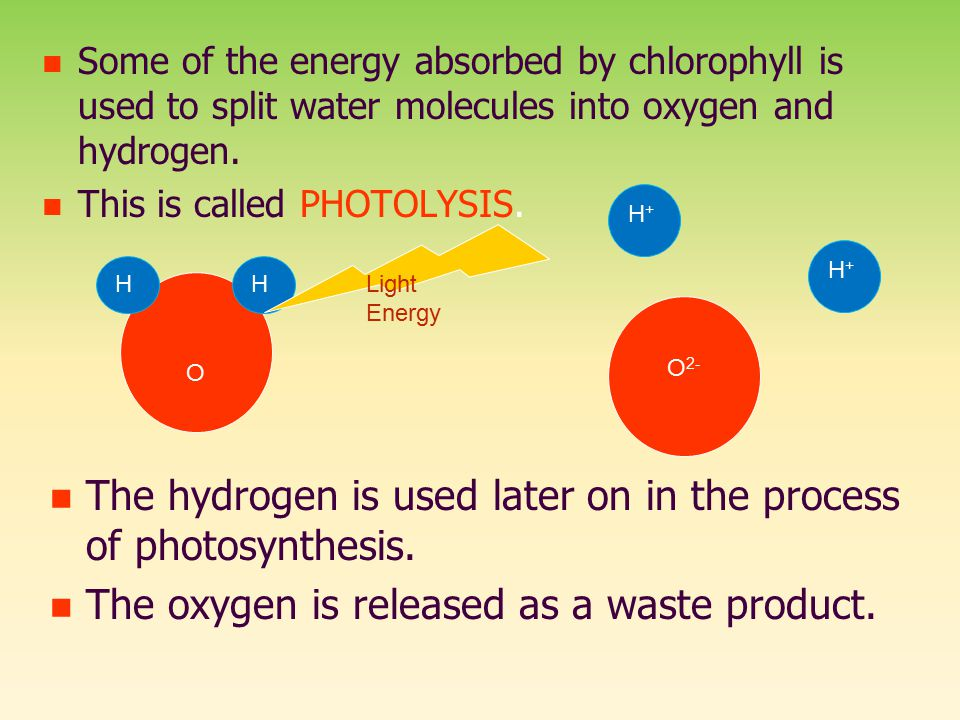 The hydrogen is used later on in the process of photosynthesis.