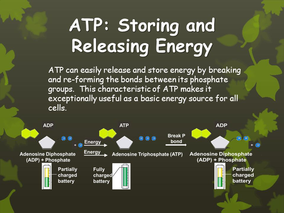 ATP: Storing and Releasing Energy