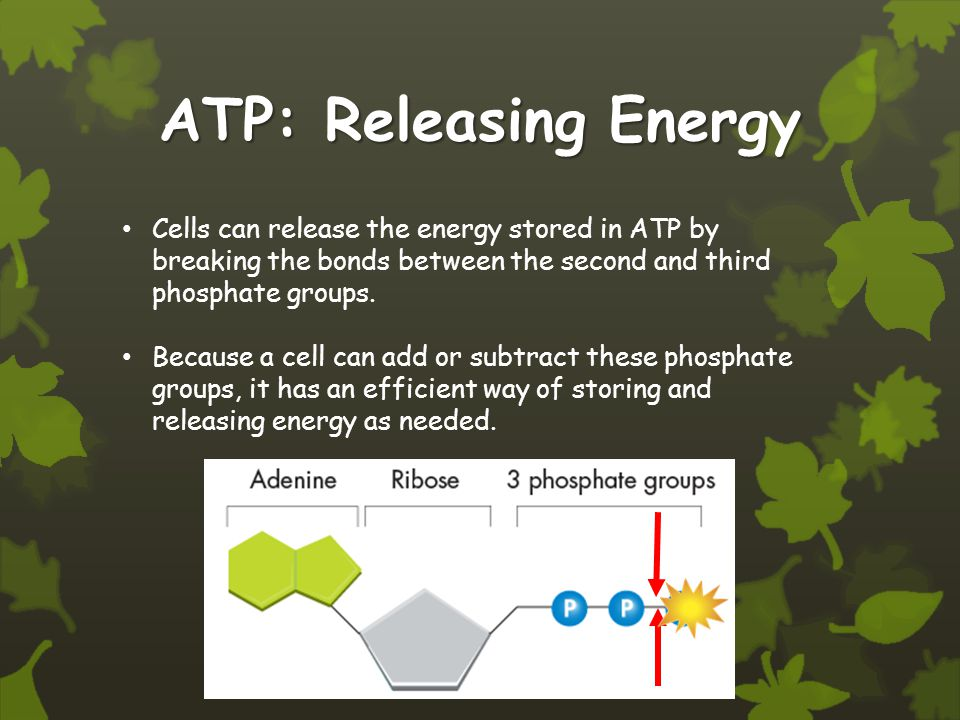 ATP: Releasing Energy Cells can release the energy stored in ATP by breaking the bonds between the second and third phosphate groups.