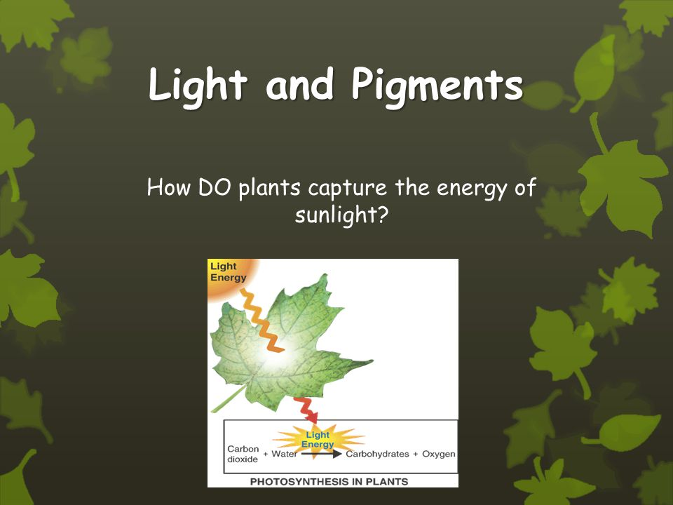 How DO plants capture the energy of sunlight