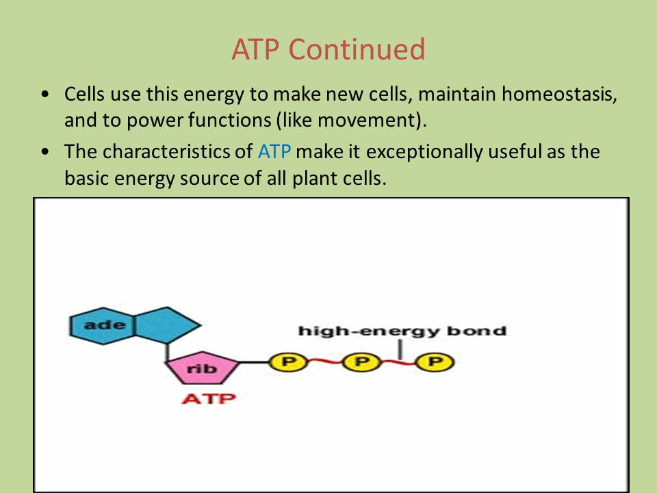 ATP Continued Cells use this energy to make new cells, maintain homeostasis, and to power functions (like movement).