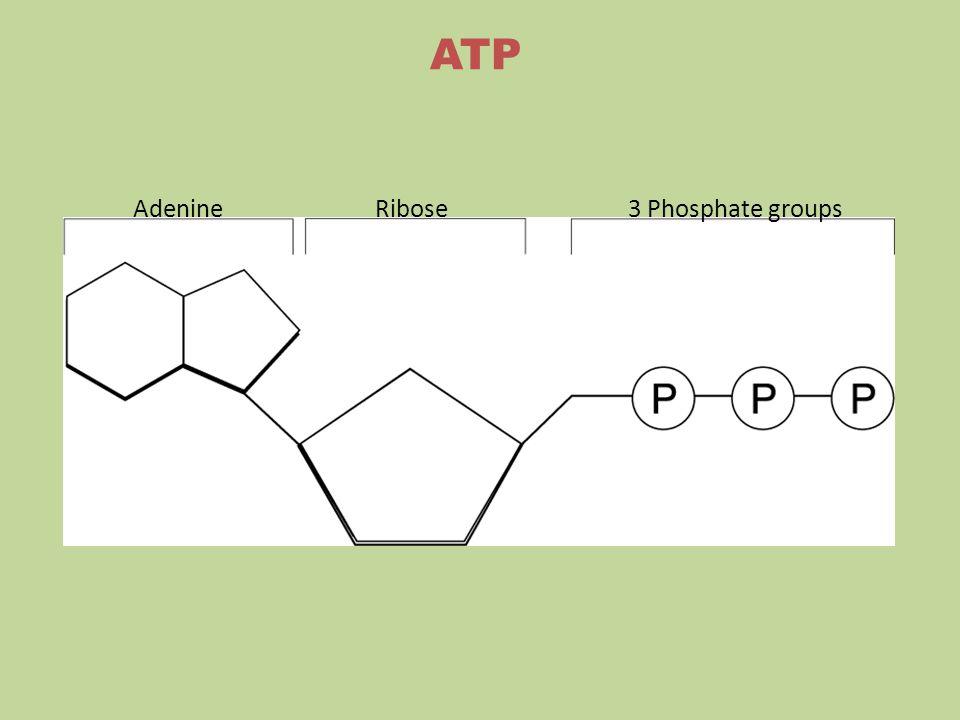 ATP Adenine Ribose 3 Phosphate groups