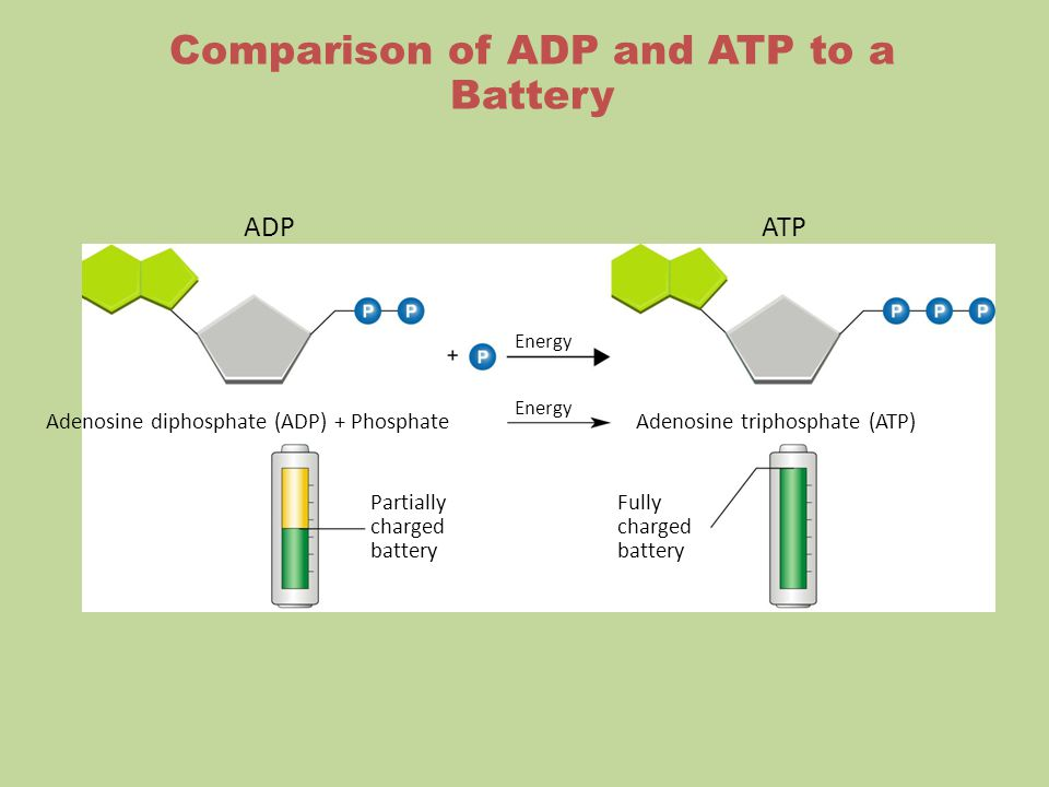 Comparison of ADP and ATP to a Battery