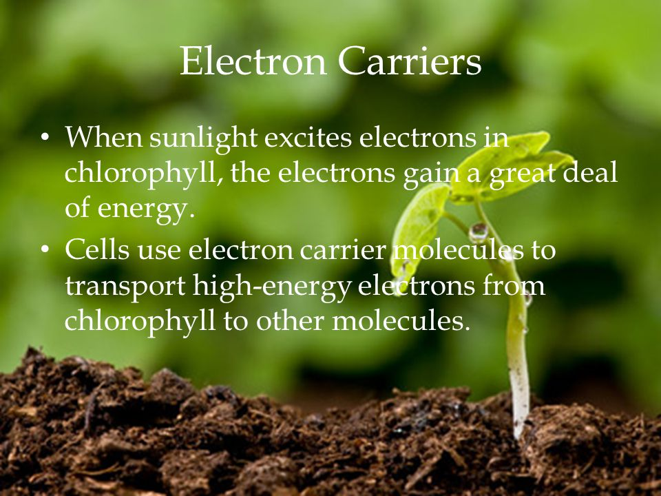 Electron Carriers When sunlight excites electrons in chlorophyll, the electrons gain a great deal of energy.