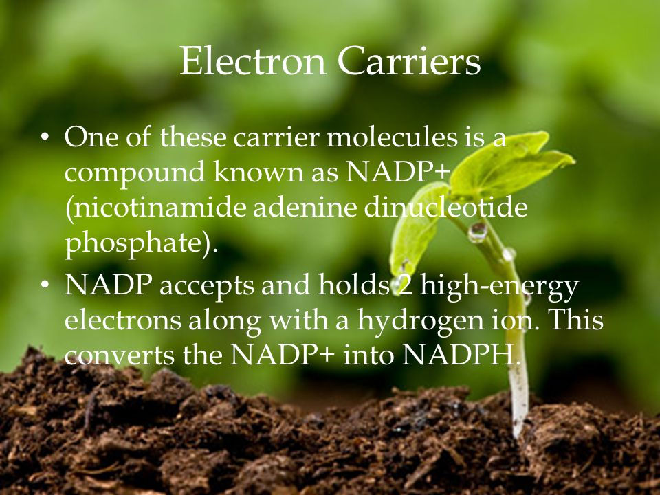 Electron Carriers One of these carrier molecules is a compound known as NADP+ (nicotinamide adenine dinucleotide phosphate).