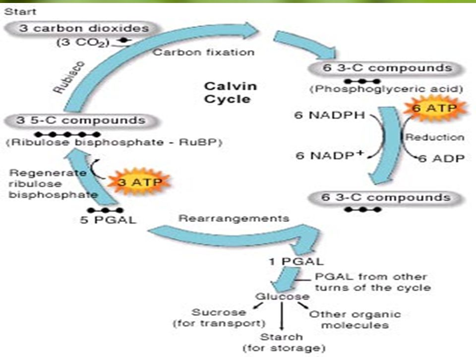 The Calvin Cycle - C