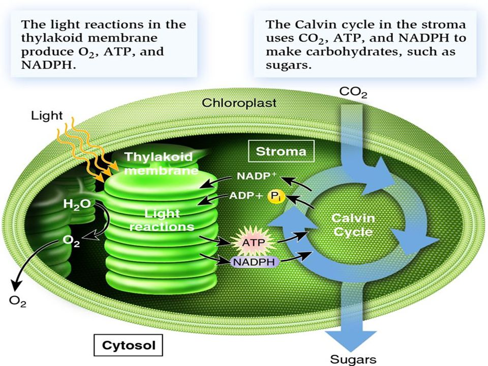 The Calvin Cycle - D