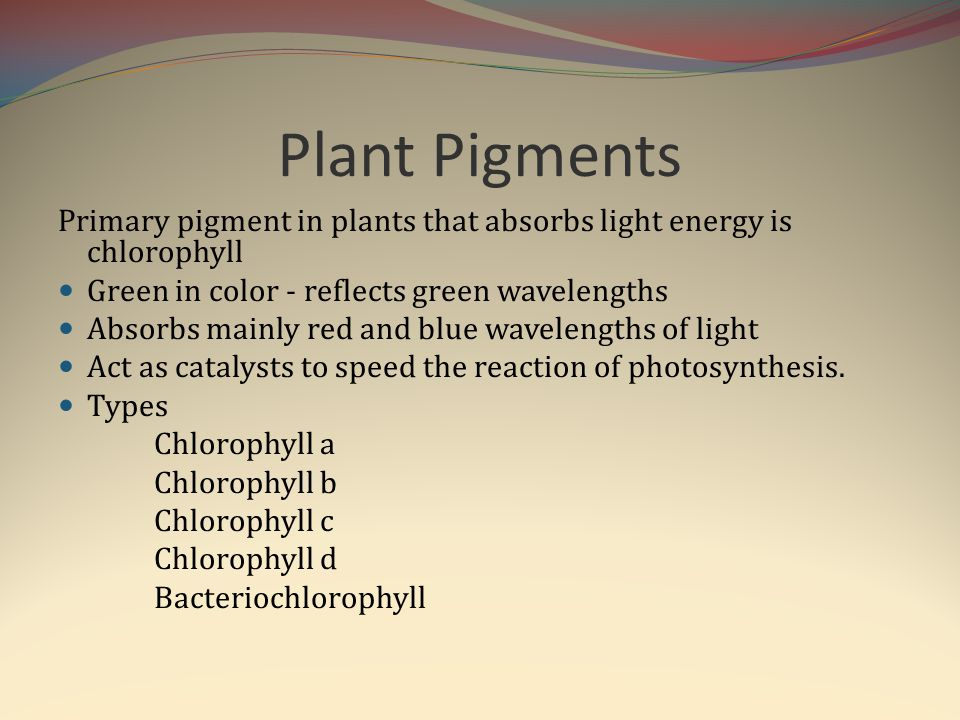 Plant Pigments Primary pigment in plants that absorbs light energy is chlorophyll Green in color - reflects green wavelengths