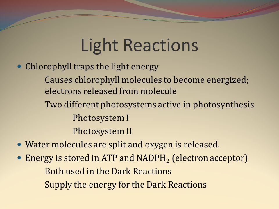 Light Reactions Chlorophyll traps the light energy