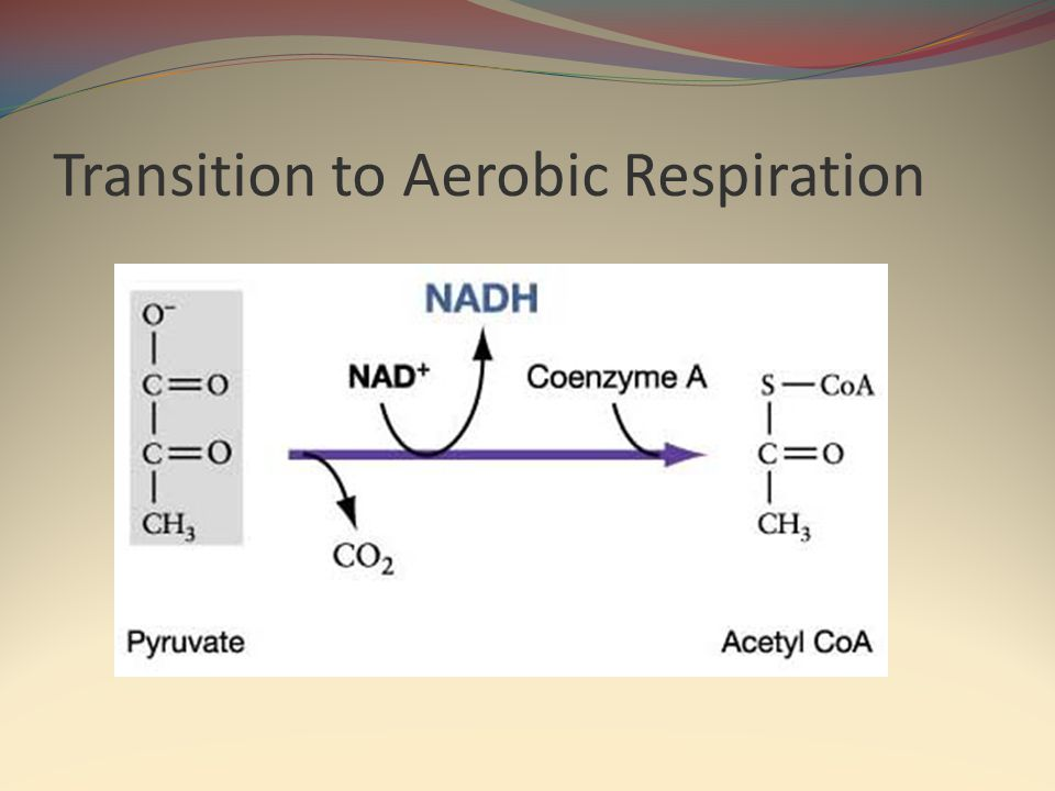 Transition to Aerobic Respiration