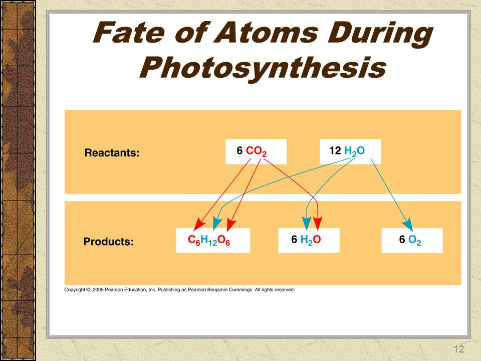 Fate of Atoms During Photosynthesis