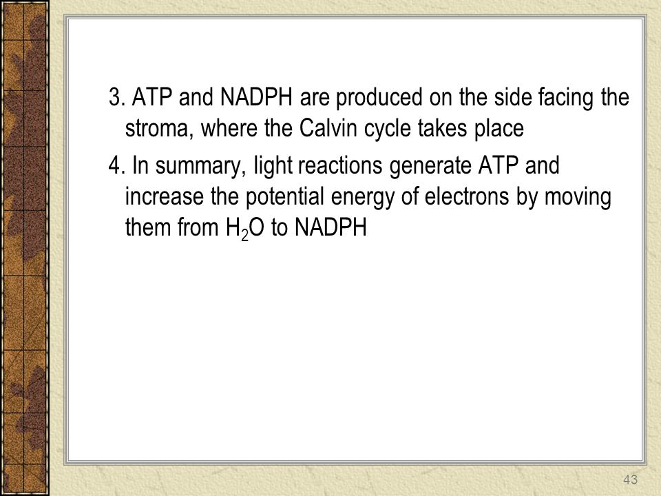 3. ATP and NADPH are produced on the side facing the stroma, where the Calvin cycle takes place