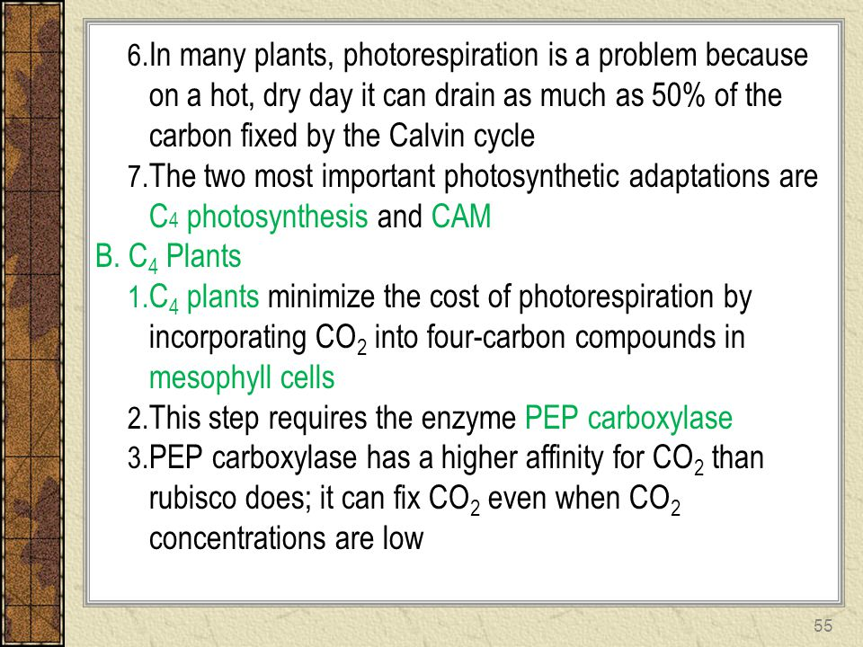 In many plants, photorespiration is a problem because on a hot, dry day it can drain as much as 50% of the carbon fixed by the Calvin cycle