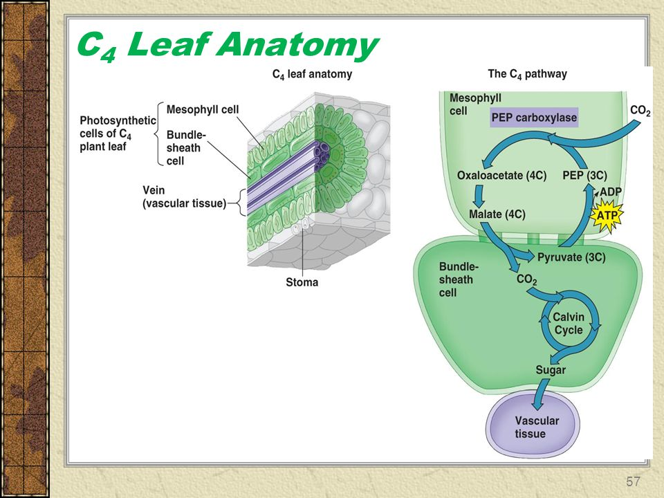 C4 Leaf Anatomy
