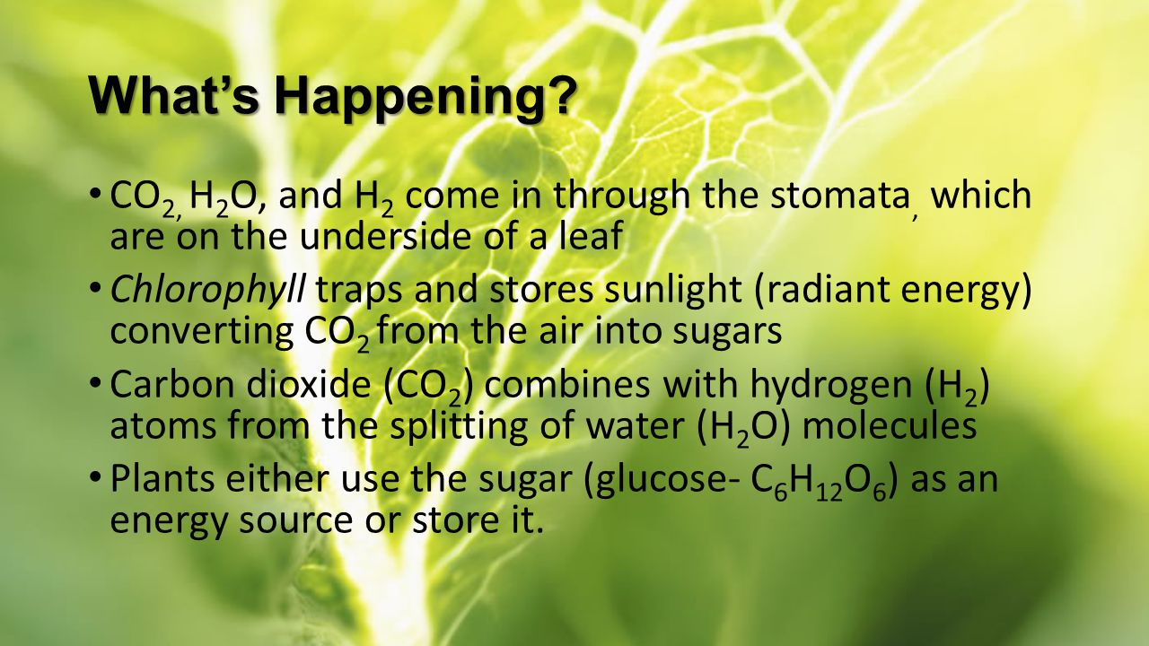 What's Happening CO2, H2O, and H2 come in through the stomata, which are on the underside of a leaf.